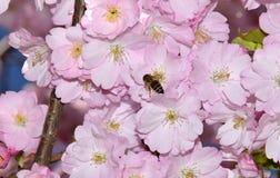 Abeja en un cerezo japonés Foto de archivo libre de regalías