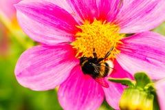 abeja en un cierre de la flor para arriba Foto de archivo