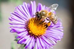 abeja en un cierre de la flor para arriba fotos de archivo
