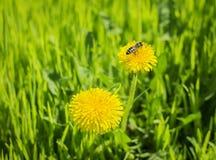 Abeja en un diente de león amarillo en fondo de la primavera Imagen de archivo libre de regalías