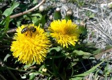 Abeja en un diente de león amarillo en un verano o un día soleado de la primavera Foto de archivo