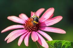 Abeja en un Echinacea Imagen de archivo libre de regalías