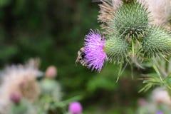 Abeja en un espacio púrpura de la copia del cardo de la flor Imagenes de archivo