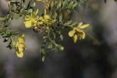 Abeja en un flor amarillo del arbusto de creosota Imagen de archivo libre de regalías