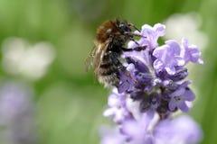 Abeja en un flor azul de la lila - macro - Imágenes de archivo libres de regalías