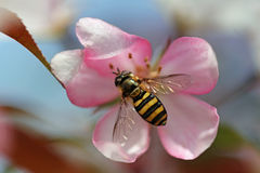 Abeja en un flor de Crabapple Imagen de archivo