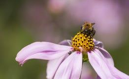 Abeja en un flor de la flor Fotografía de archivo libre de regalías