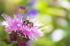Abeja en un flor de la flor del beebalm del escarlata Fotos de archivo libres de regalías