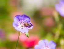 Abeja en un flor de la flor del geranio Imagen de archivo libre de regalías