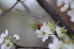 Abeja en un flor de la manzana Fotografía de archivo libre de regalías