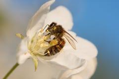 Abeja en un flor del árbol frutal Foto de archivo libre de regalías