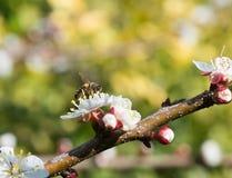 Abeja en un flor del albaricoque Imágenes de archivo libres de regalías
