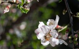 Abeja en un flor del ciruelo Imagen de archivo libre de regalías