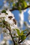 Abeja en un flor del resorte Imagenes de archivo