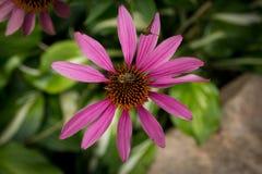 Abeja en un gailardia de la flor Fotografía de archivo libre de regalías