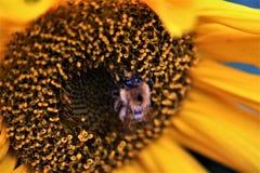 Abeja en un girasol Imagen de archivo libre de regalías