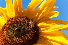 Abeja en un girasol Polaco de flores Crecimiento de cosechas agrícolas Fotos de archivo libres de regalías