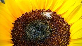 Abeja en un girasol, recogiendo el polen Fotografía de archivo libre de regalías