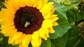 Abeja en un girasol, recogiendo el polen Fotos de archivo