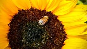 Abeja en un girasol, recogiendo el polen Fotografía de archivo