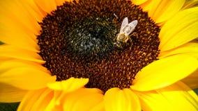 Abeja en un girasol, recogiendo el polen Fotos de archivo libres de regalías