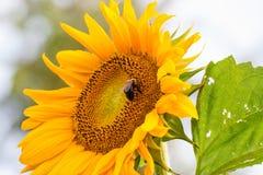 Abeja en un girasol, recogiendo el polen Imagen de archivo libre de regalías