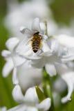Abeja en un jacinto blanco Fotos de archivo libres de regalías