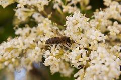 Abeja en un jardín en las flores de la miel Foto de archivo