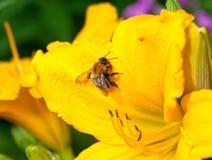 Abeja en un lirio amarillo Imagen de archivo libre de regalías