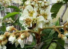Abeja en un loquat de la flor Imágenes de archivo libres de regalías