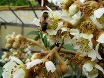 Abeja en un loquat de la flor Imagen de archivo libre de regalías