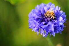 Abeja en un macrophotography violeta de la flor del iris Imágenes de archivo libres de regalías