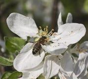 Abeja en un manzano de la flor Imagen de archivo