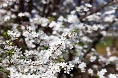 Abeja en un manzano floreciente Fotografía de archivo
