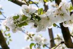 Abeja en un manzano floreciente Foto de archivo