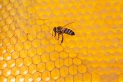 Abeja en un marco con la miel Fotografía de archivo