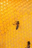 Abeja en un marco con la miel Imagen de archivo