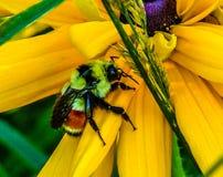 Abeja en un pétalo de la flor Imagen de archivo libre de regalías
