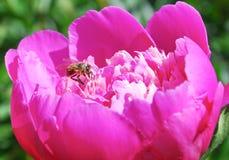 Abeja en un Paeonia rosado brillante de la peonía Foto de archivo libre de regalías