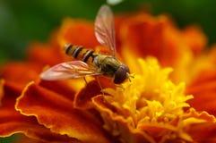 Abeja en un primer de la flor Imagenes de archivo