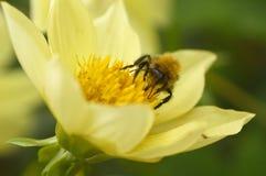 Abeja en un primer de la flor Foto de archivo libre de regalías
