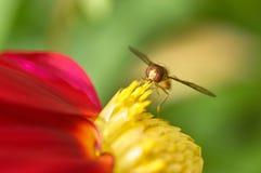 Abeja en un primer de la flor Fotos de archivo libres de regalías