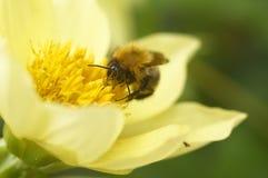 Abeja en un primer de la flor Imagen de archivo