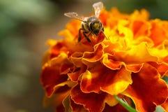 Abeja en un primer de la flor Fotografía de archivo