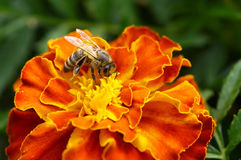 Abeja en un primer de la flor Fotografía de archivo libre de regalías