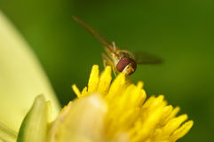 Abeja en un primer de la flor Fotos de archivo