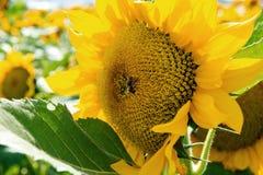 Abeja en un primer del girasol en un día soleado Foto de archivo libre de regalías