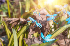 Abeja en un snowdrop azul Scilla Squill de la primavera de la flor Imagen de archivo libre de regalías