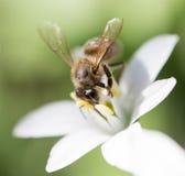 Abeja en un snowdrop de la flor cierre Foto de archivo libre de regalías