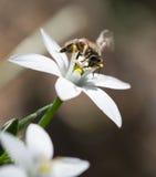Abeja en un snowdrop de la flor cierre Foto de archivo